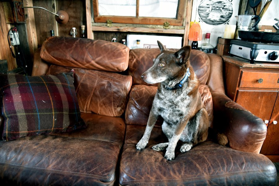 Hazel, a 3-year-old Australian cattle dog, sits on the sofa of the Dotty.